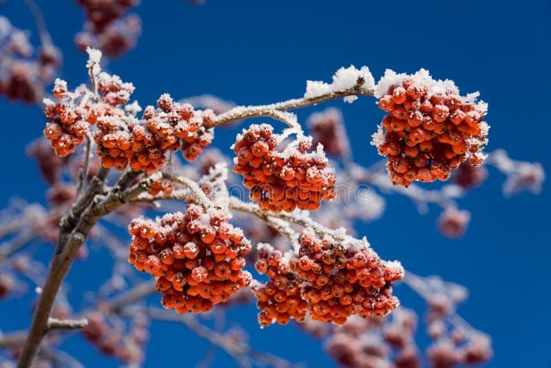 Inverno Rowan imagens de stock