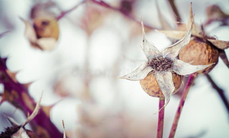 inverno secado Rose Hips foto de stock royalty free