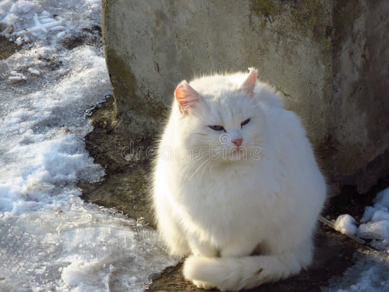 Inverno severo Un gatto bianco sta congelandosi nella neve Animale domestico abbandonato immagini stock libere da diritti
