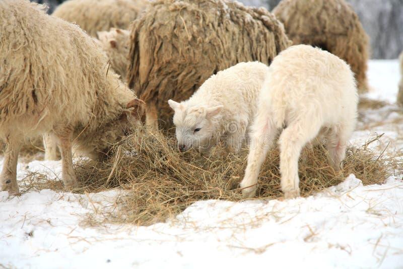 Inverno sull'azienda agricola. fotografie stock libere da diritti