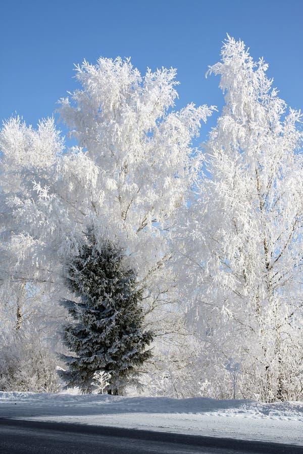 Inverno. Vidoeiros e única árvore de abeto imagem de stock royalty free