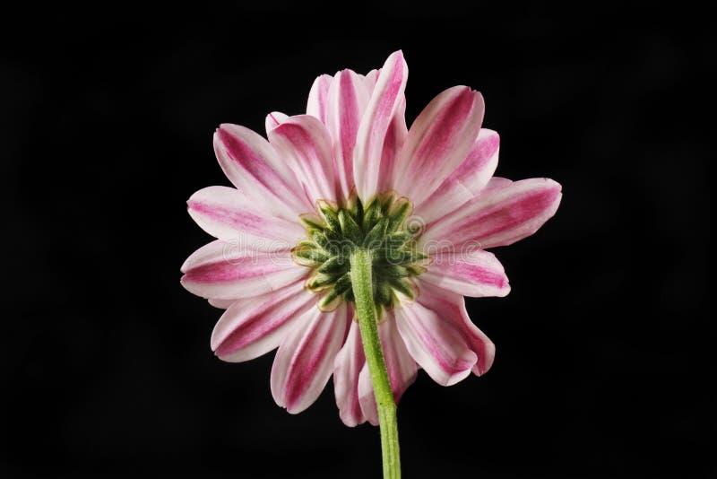 Inverse de fleur de chrysanthème image libre de droits