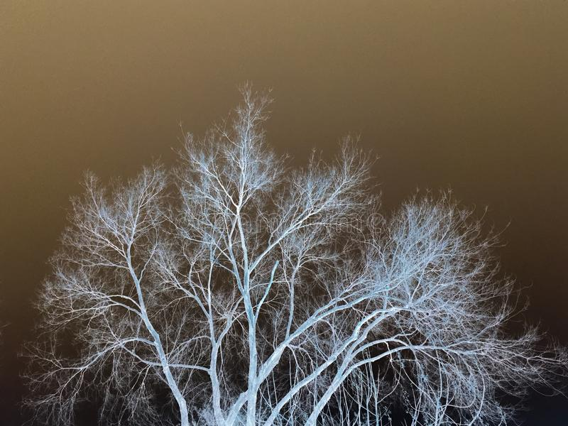Invert tree. Winter tree with an invert filter to give a different effects stock photos