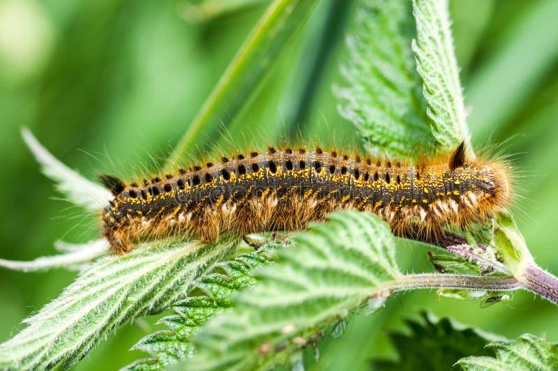Invertebrate portrait drinker moth caterpillar stock photo