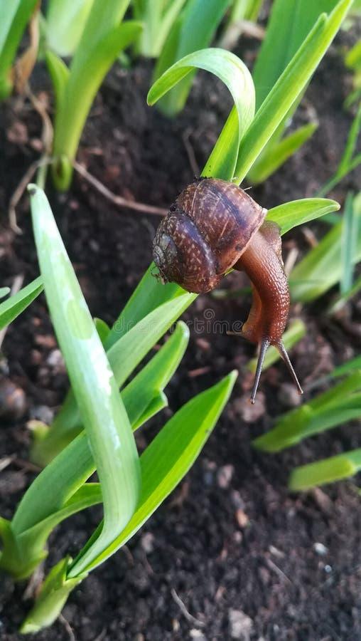 Invertebrate, Snails And Slugs, Plant, Snail royalty free stock photos