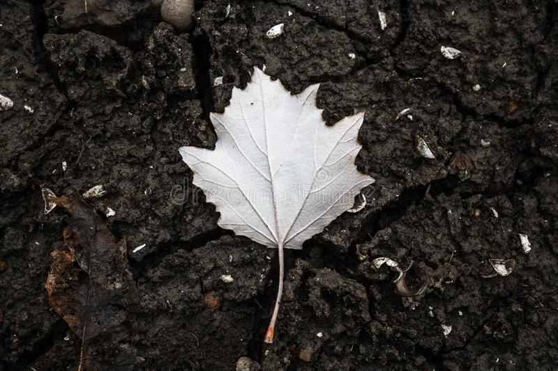 An inverted autumn leaf of poplar lies on cracked earth stock images