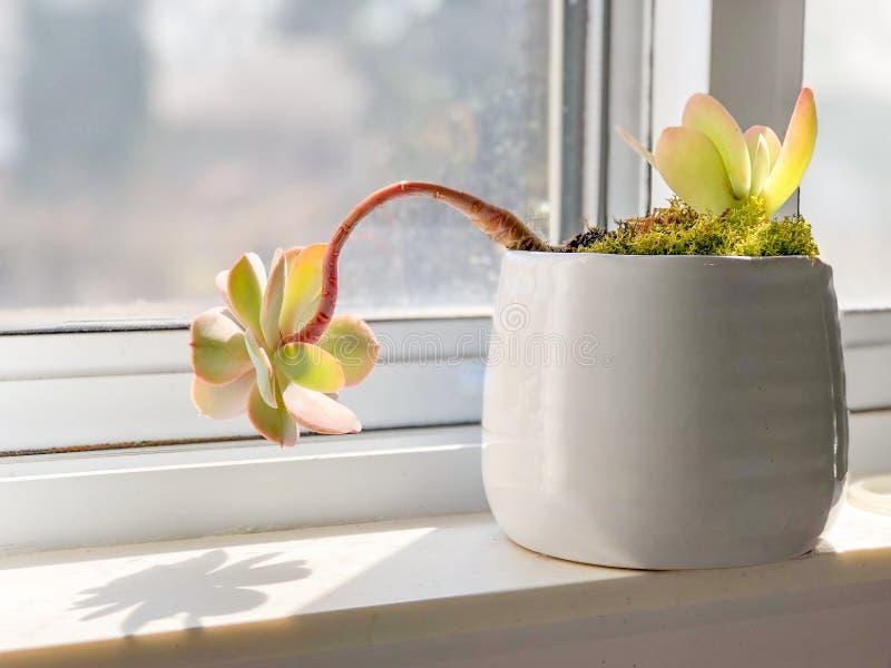 Investigador de Sun, Lenny a planta carnuda, paisagem fotos de stock royalty free