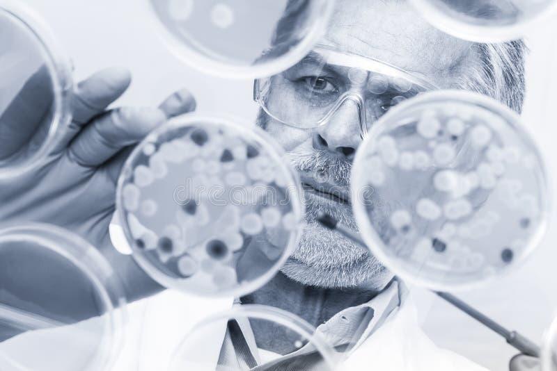 Investigador mayor de las ciencias de la vida que injerta bacterias imagen de archivo