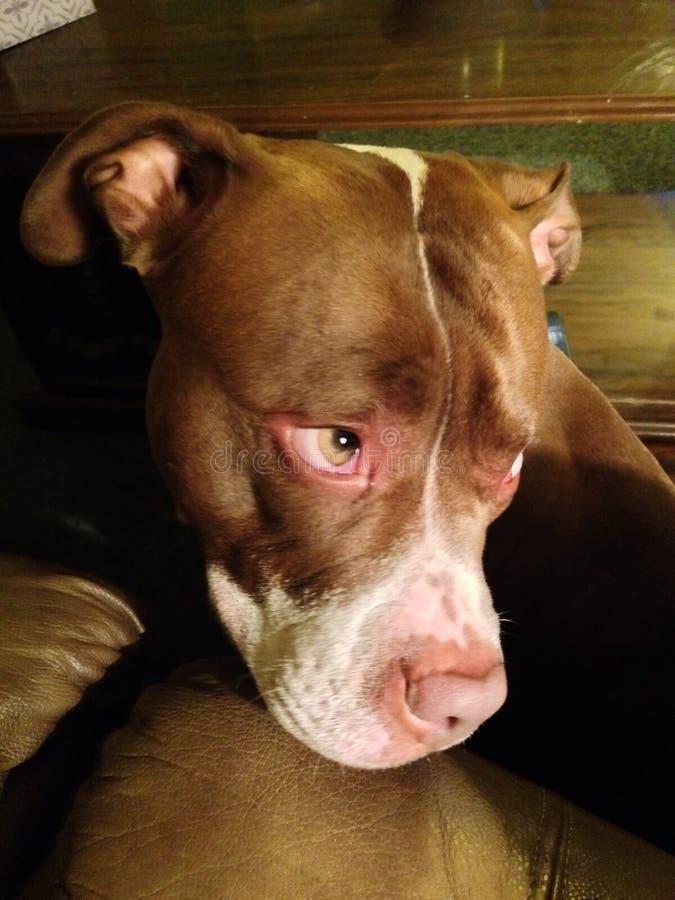 Investigador triste de Pitbull ou de simpatia? imagens de stock