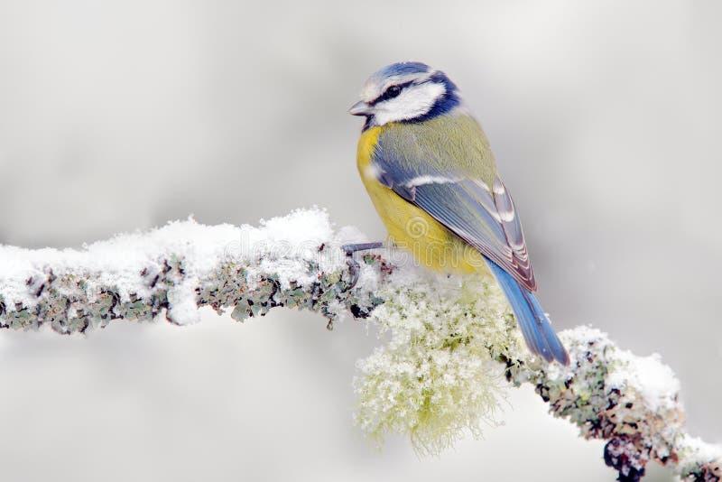 Invierno de la nieve con el pájaro cantante lindo El Tit azul del pájaro en bosque, el copo de nieve y el liquen agradable ramifi fotos de archivo libres de regalías