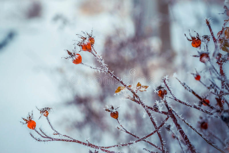 Invierno de la nieve en ciudad La rosa del perro salvaje subió con los escaramujos rojos escarchados, los tubos rojos y amarillos foto de archivo