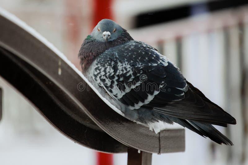 Invierno de la paloma del pájaro imagen de archivo