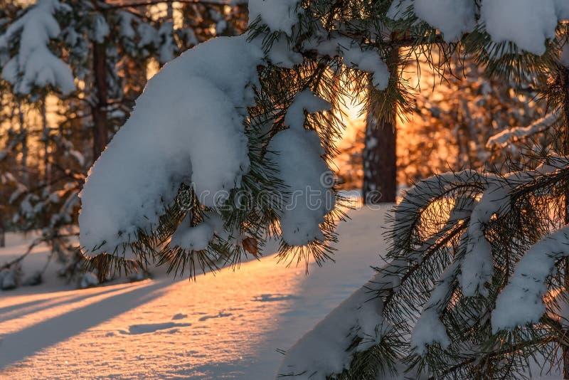 Invierno de la puesta del sol de la nieve del pino del bosque imágenes de archivo libres de regalías