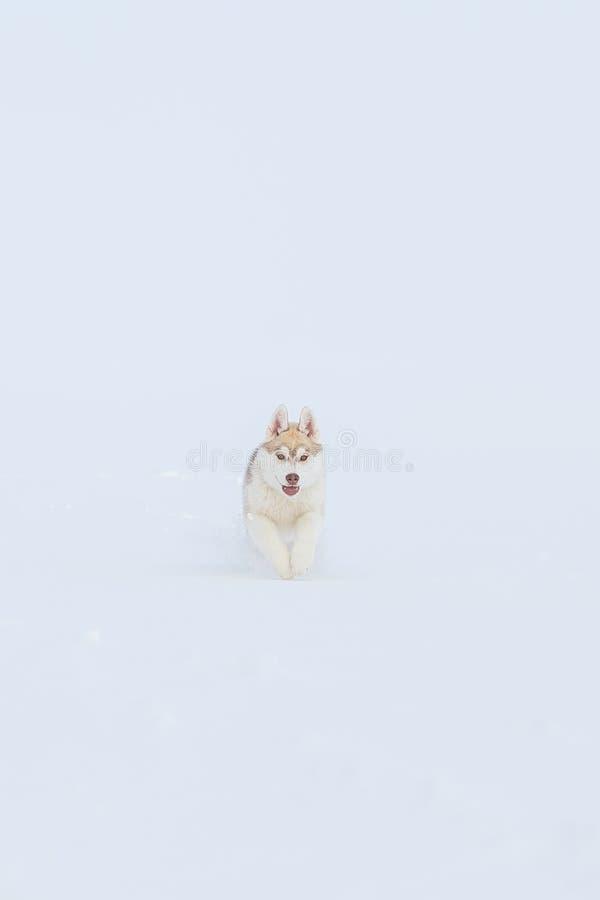 Invierno del husky siberiano que juega en nieve foto de archivo libre de regalías