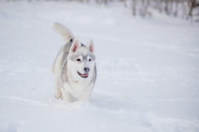Invierno del husky siberiano que juega en nieve fotos de archivo libres de regalías