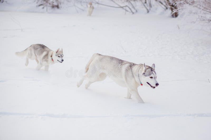 Invierno del husky siberiano que juega en nieve imagen de archivo libre de regalías