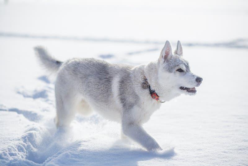 Invierno del husky siberiano que juega en nieve imágenes de archivo libres de regalías