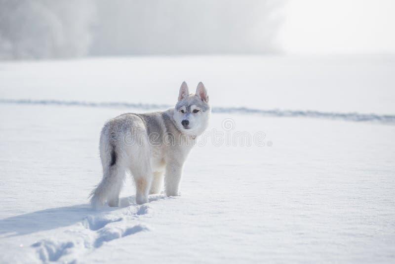Invierno del husky siberiano que juega en nieve foto de archivo