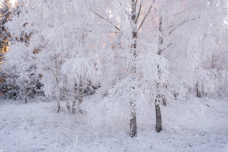 Invierno Forest Landscape In Pink Tones Abedul Forest Covered With Hoarfrost Sun, nieve del invierno de ForestBeautiful del abedu fotografía de archivo libre de regalías