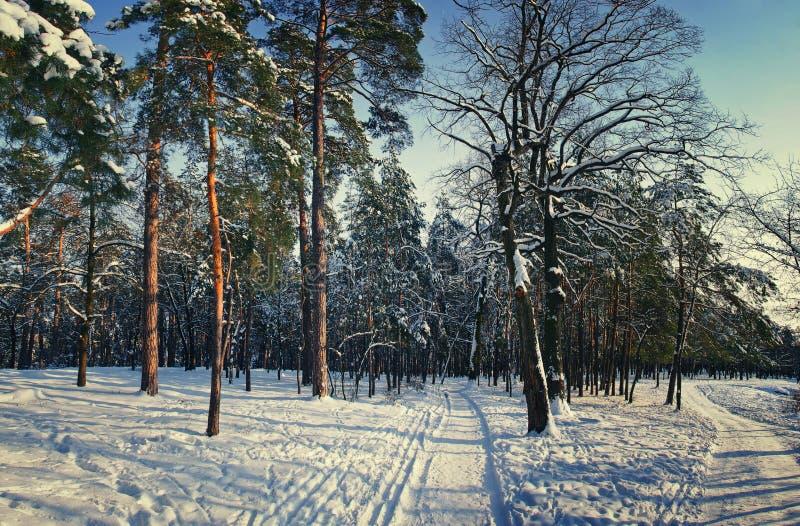 Invierno Forest Park en nieve en luz del sol fotografía de archivo libre de regalías