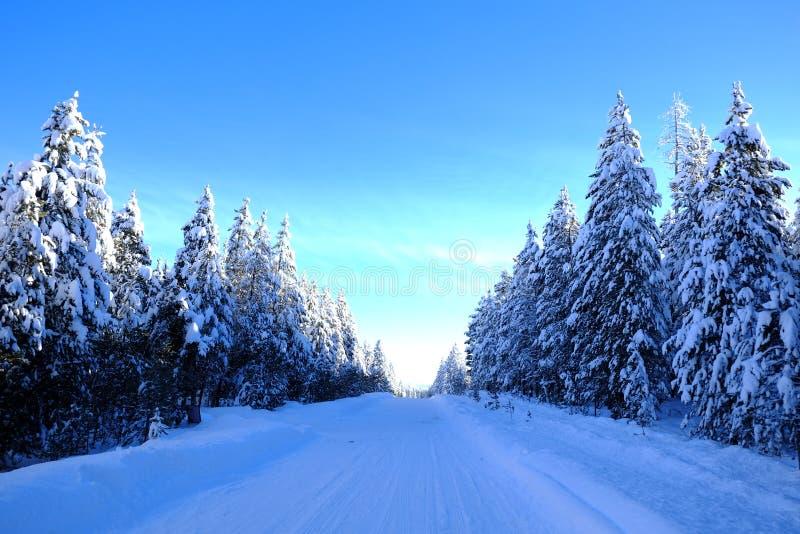 Invierno Forest Snowy Pine Trees con el cielo azul de la sol fotografía de archivo