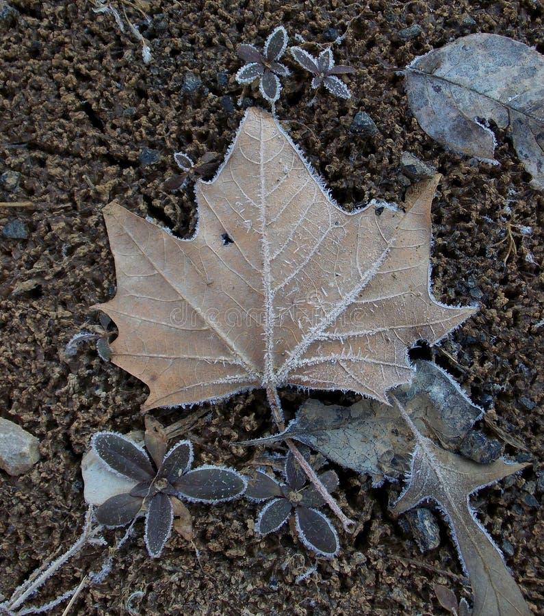 Invierno Frost en una hoja del sicómoro foto de archivo