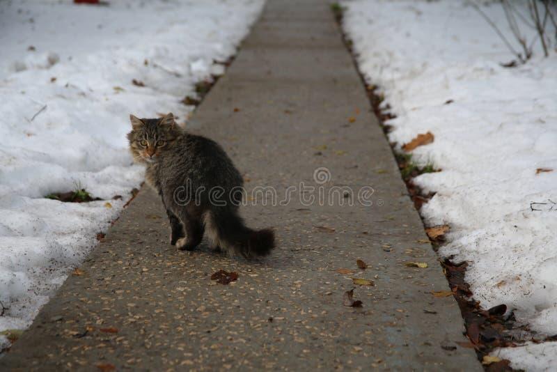 Invierno Gato en la pista imagen de archivo