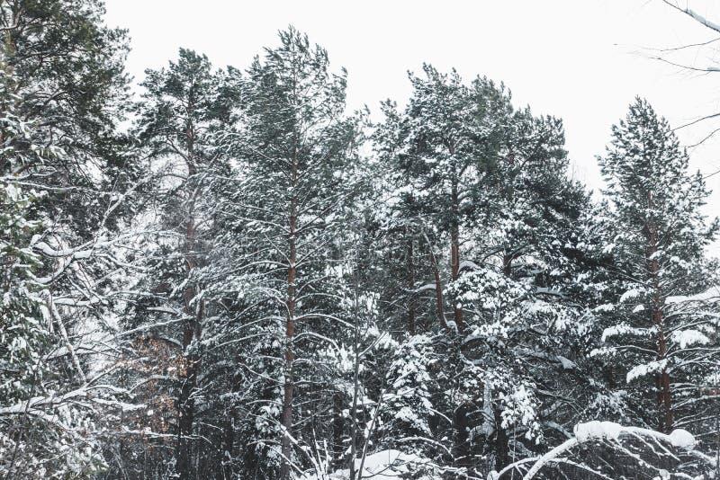 Invierno hermoso en bosque del pino imagenes de archivo