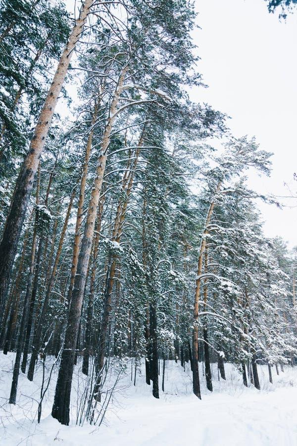 Invierno hermoso en bosque del pino imágenes de archivo libres de regalías