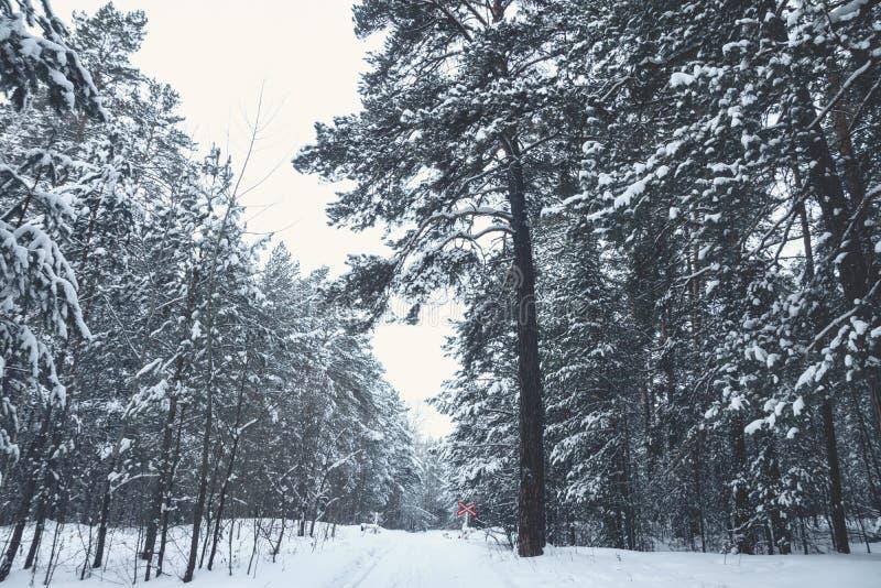 Invierno hermoso en bosque del pino imagen de archivo libre de regalías