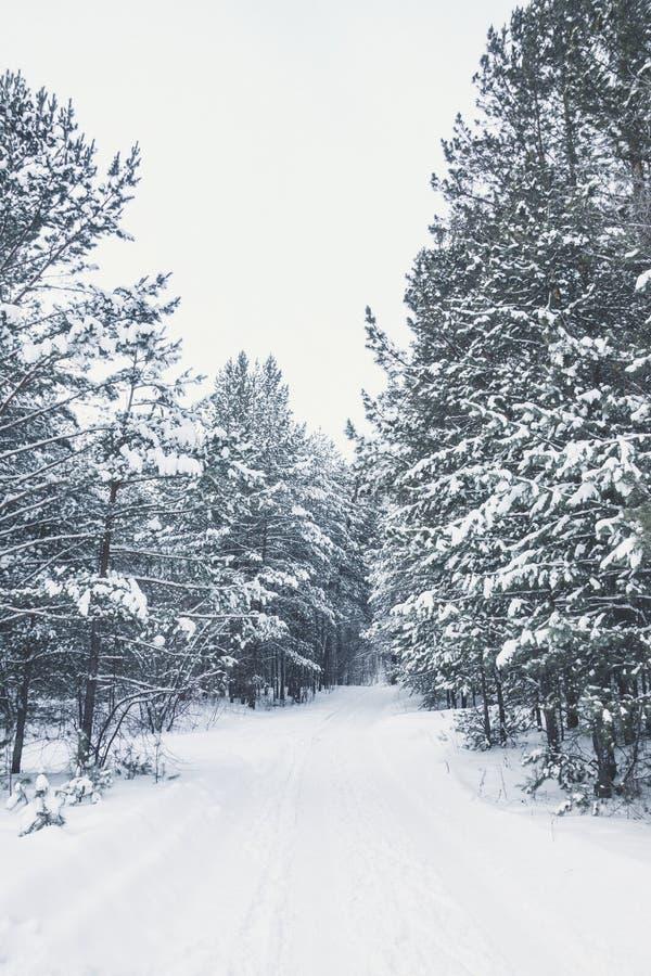 Invierno hermoso en bosque del pino fotos de archivo