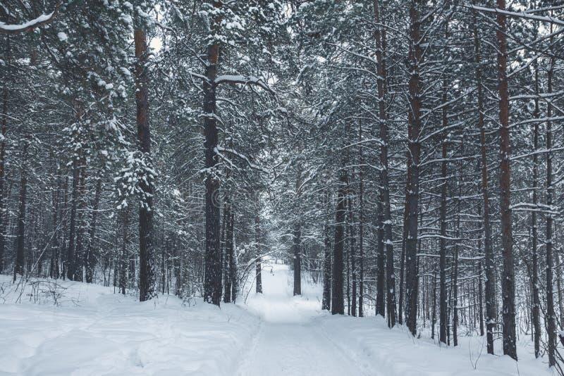 Invierno hermoso en bosque del pino fotos de archivo libres de regalías