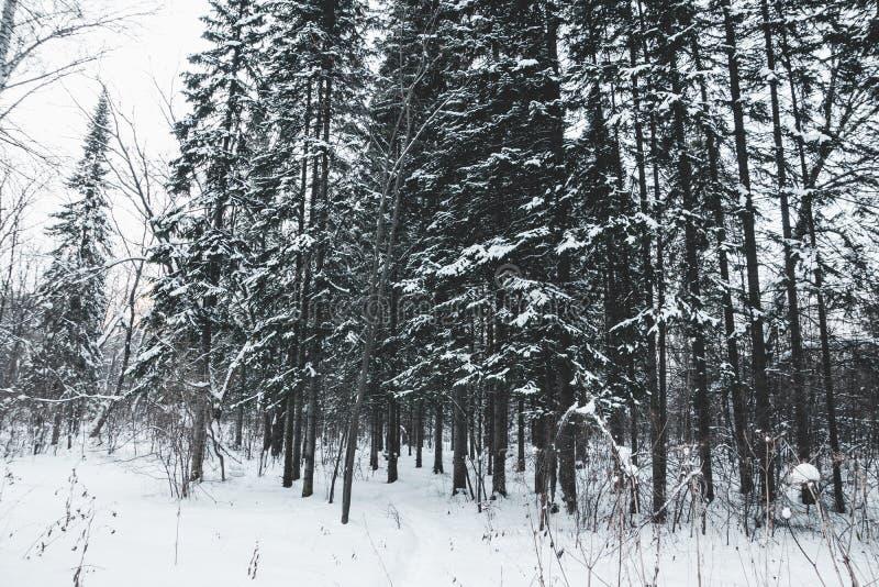 Invierno hermoso en bosque del pino fotografía de archivo libre de regalías