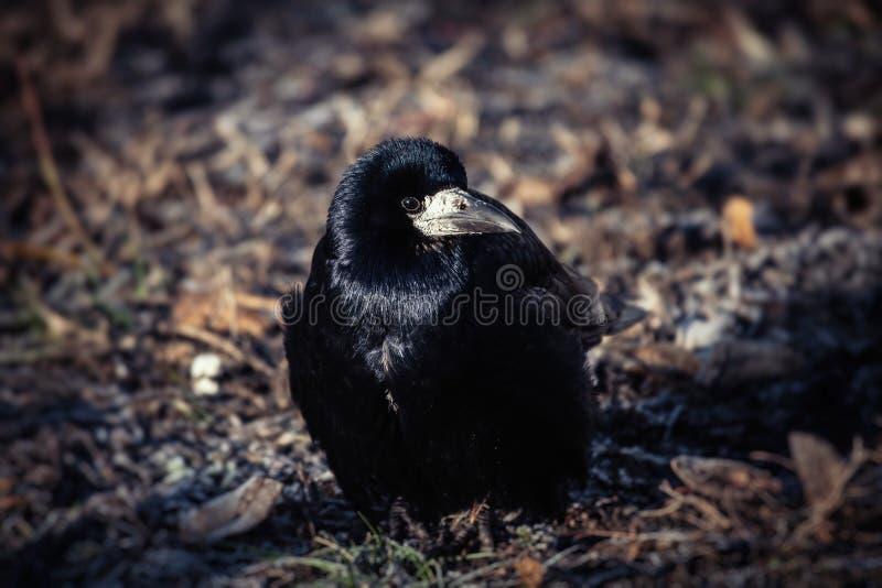 Invierno negro joven LIFE-Naturaleza frío del cuervo fotos de archivo