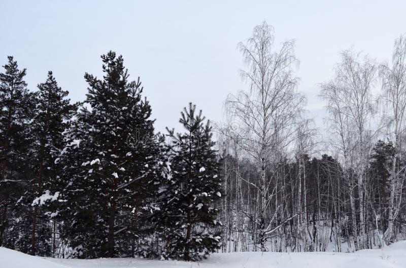 Invierno, nieve, bosque, árbol, frío, naturaleza, árboles, paisaje, blanco, abedul, helada, bosque, hielo, madera, estación, parq fotos de archivo