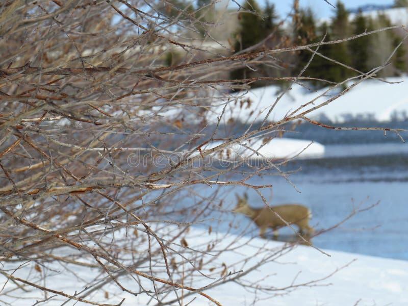 Invierno, ramitas, río y ciervos DOF imagenes de archivo
