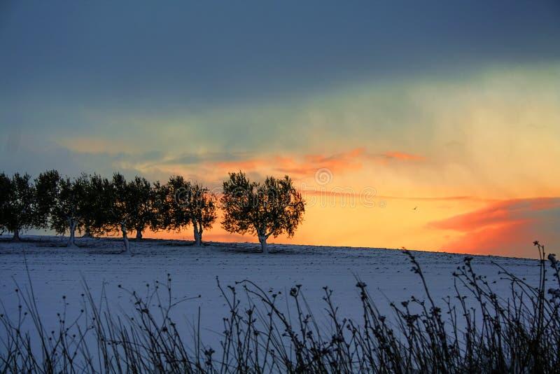 INVIERNO RURAL DEL PAISAJE Entre Apulia y Basilicata Salida del sol: arboleda verde oliva nevosa - ITALIA fotografía de archivo