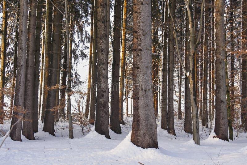 Invierno, troncos de árbol en el bosque nevoso, Baviera, Alemania fotografía de archivo libre de regalías