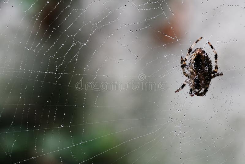 Spiders net. A small spider on its invisible web that the morning dew emphasizes making visible his lethal trap royalty free stock image