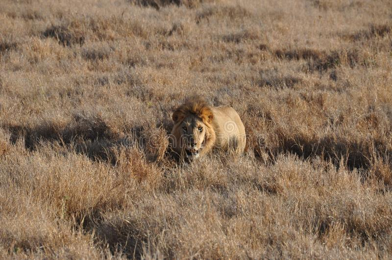 An old male lion approaching from the high grass. Almost invisible until the last moment royalty free stock photography