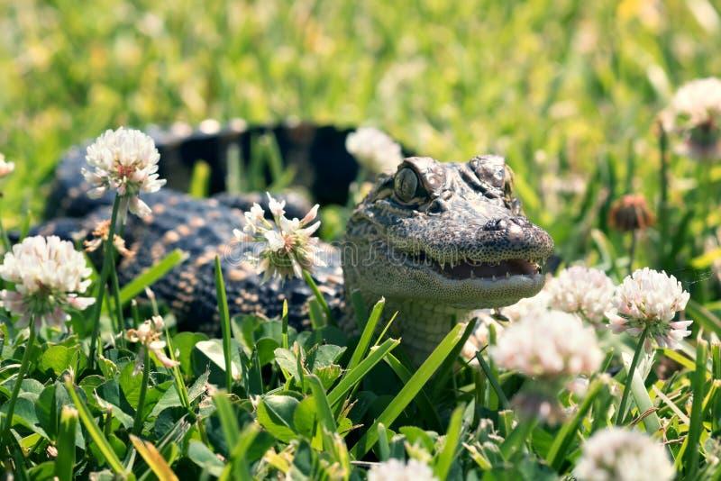Invité de surprise - alligator américain sur la pelouse parmi un flowerin photo stock