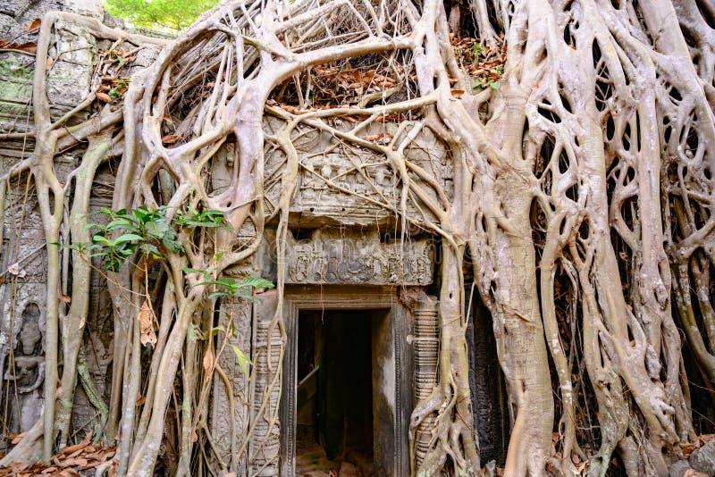 Invitación del demage de árboles crecientes en el templo de TA Prohm, Angkor, Siem Reap, Camboya Raíces grandes sobre las paredes imágenes de archivo libres de regalías