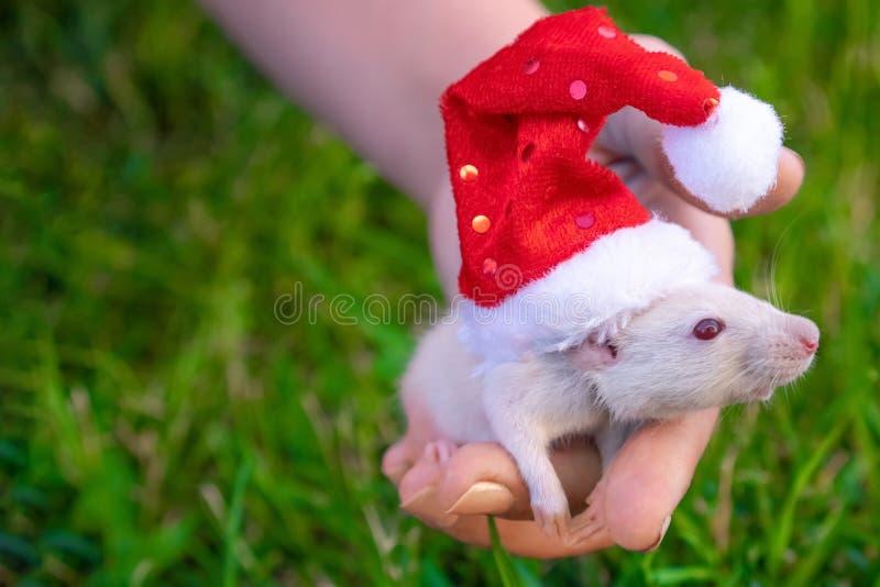 invitation new year 白色的新年2020年-,银色鼠的标志 在一个圣诞老人项目帽子的逗人喜爱的白色鼠在背景鲜绿色 库存图片