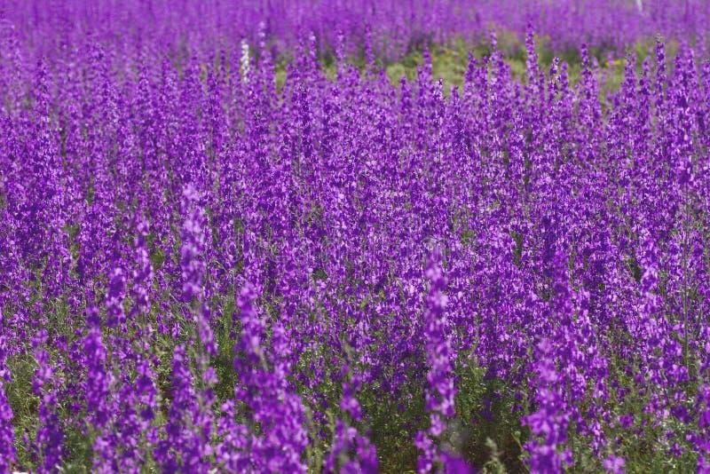 inwazja vonsolida ajacis kwitnie zakrywający purpura krajobraz w wiośnie obraz stock