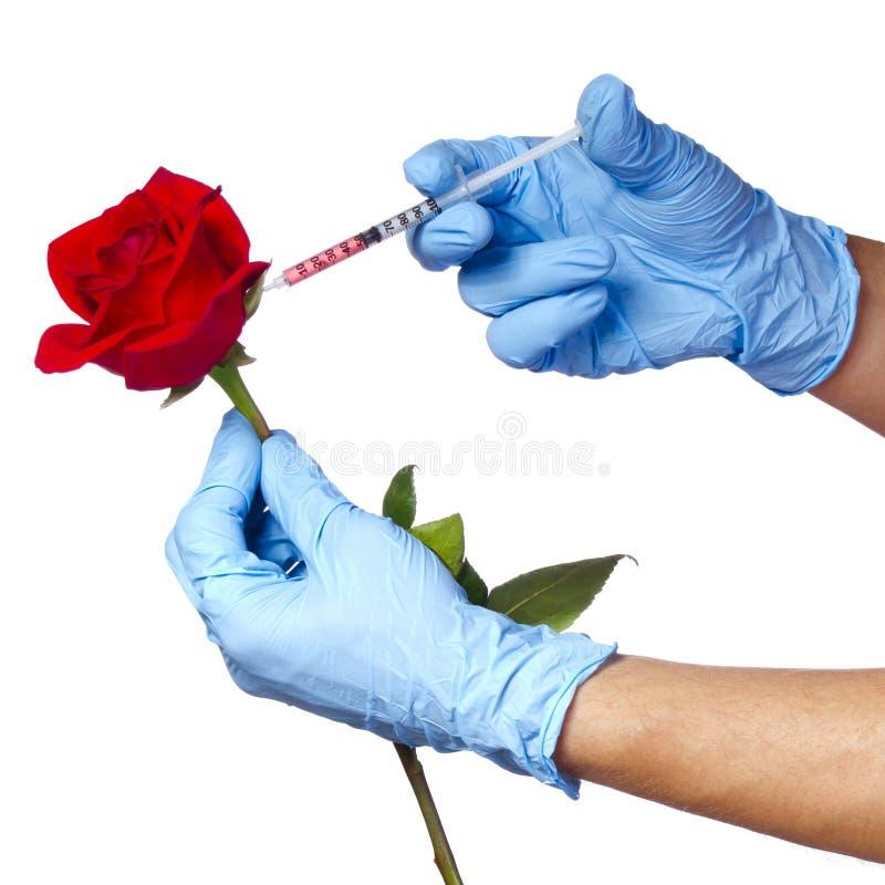 Inyección en la rosa del rojo aislada en el fondo blanco. Flor y jeringuilla genético modificadas en sus manos con los guantes azu foto de archivo libre de regalías