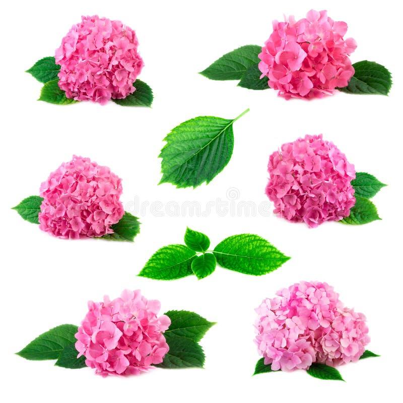 Inzameling van de bloemen van hydrangea hortensiahortensia met groene die bladeren op wit wordt geïsoleerd Roze flowerheads van h stock foto