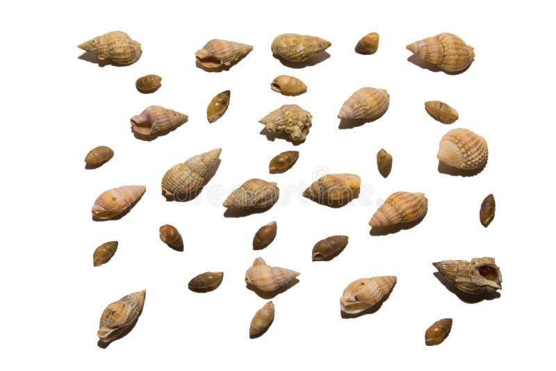 Inzameling van diverse die zeeschelpen, op witte achtergrond wordt geïsoleerd Inzameling van shells van verschillende vormen en k stock foto