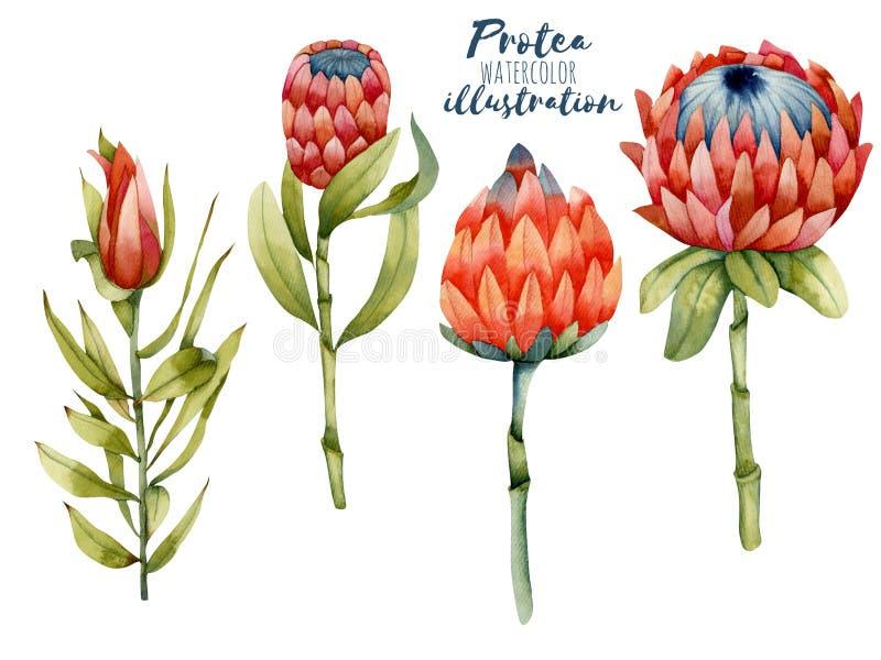 Inzameling van geïsoleerde waterverf het bloeien protea, hand geschilderde illustratie stock illustratie