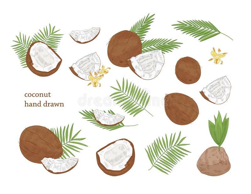 Inzameling van gedetailleerde botanische tekeningen van gehele en gespleten die kokosnoot en palmbladeren op witte achtergrond wo vector illustratie