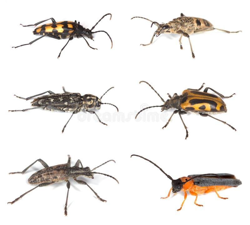 Inzameling van lange hoornkevers die op wit wordt geïsoleerdu stock fotografie